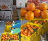 老父親的水果園:桶柑3.JPG