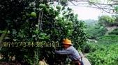 老父親的水果園:104採蜜柚3.jpg