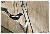 98-5 金門的鳥 - 棕背伯勞與其他:98-5-1 金門 566.JPG