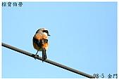 98-5 金門的鳥 - 棕背伯勞與其他:98-5-1 金門 600.JPG
