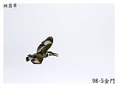 98-5 金門的鳥 - 棕背伯勞與其他:98-5-2 金門 085.JPG