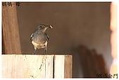 98-5 金門的鳥 - 棕背伯勞與其他:98-5-2 金門 278.JPG