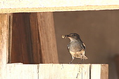 98-5 金門的鳥 - 棕背伯勞與其他:98-5-2 金門 281.JPG