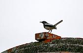 98-5 金門的鳥 - 棕背伯勞與其他:98-5-2 金門 307.JPG