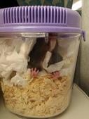 莉莉安卓公主的動物園18:20140311偷喝ㄋㄟㄋㄟ的阿鼠,從下巴滴到胸口去.jpg