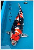 御三家錦鯉(來自福爾摩莎及台灣錦鯉網的超級錦鯉相片):1104071020735541c228579af8.jpg