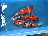 御三家錦鯉(來自福爾摩莎及台灣錦鯉網的超級錦鯉相片):DSC00860.JPG