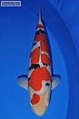 御三家錦鯉(來自福爾摩莎及台灣錦鯉網的超級錦鯉相片):AbK.jpg