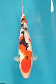 御三家錦鯉(來自福爾摩莎及台灣錦鯉網的超級錦鯉相片):ap_F23_20100207040530348.jpg