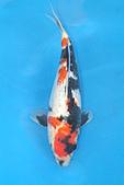 御三家錦鯉(來自福爾摩莎及台灣錦鯉網的超級錦鯉相片):ap_F23_20100207040639136.jpg