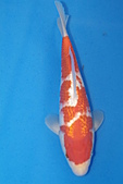 御三家錦鯉(來自福爾摩莎及台灣錦鯉網的超級錦鯉相片):b-1.jpg