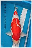 御三家錦鯉(來自福爾摩莎及台灣錦鯉網的超級錦鯉相片):1104011949f20fa879bd447231.jpg