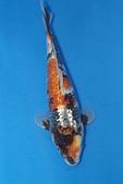 御三家錦鯉(來自福爾摩莎及台灣錦鯉網的超級錦鯉相片):b-3.jpg