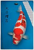御三家錦鯉(來自福爾摩莎及台灣錦鯉網的超級錦鯉相片):1104011949f82689efa25f56a0.jpg