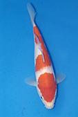 御三家錦鯉(來自福爾摩莎及台灣錦鯉網的超級錦鯉相片):b-11.jpg