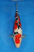 御三家錦鯉(來自福爾摩莎及台灣錦鯉網的超級錦鯉相片):b-12.jpg