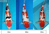 御三家錦鯉(來自福爾摩莎及台灣錦鯉網的超級錦鯉相片):圖片_6~1.JPG