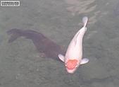 御三家錦鯉(來自福爾摩莎及台灣錦鯉網的超級錦鯉相片):002.jpg