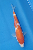御三家錦鯉(來自福爾摩莎及台灣錦鯉網的超級錦鯉相片):b-13.jpg
