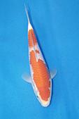 御三家錦鯉(來自福爾摩莎及台灣錦鯉網的超級錦鯉相片):b-14.jpg