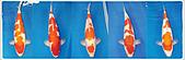 御三家錦鯉(來自福爾摩莎及台灣錦鯉網的超級錦鯉相片):1104191938ebb80a8c7a2d6824.jpg