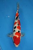 御三家錦鯉(來自福爾摩莎及台灣錦鯉網的超級錦鯉相片):b-15.jpg