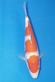 御三家錦鯉(來自福爾摩莎及台灣錦鯉網的超級錦鯉相片):b-19.jpg