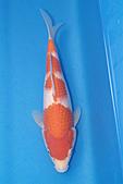 御三家錦鯉(來自福爾摩莎及台灣錦鯉網的超級錦鯉相片):b-20.jpg