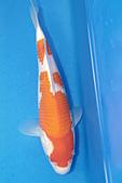 御三家錦鯉(來自福爾摩莎及台灣錦鯉網的超級錦鯉相片):b-23.jpg