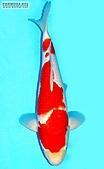御三家錦鯉(來自福爾摩莎及台灣錦鯉網的超級錦鯉相片):147901995_1.jpg