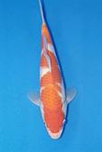 御三家錦鯉(來自福爾摩莎及台灣錦鯉網的超級錦鯉相片):b-24.jpg