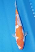 御三家錦鯉(來自福爾摩莎及台灣錦鯉網的超級錦鯉相片):b-25.jpg