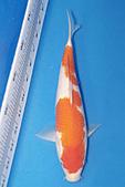御三家錦鯉(來自福爾摩莎及台灣錦鯉網的超級錦鯉相片):b-26.jpg