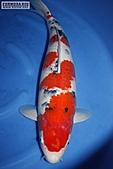 御三家錦鯉(來自福爾摩莎及台灣錦鯉網的超級錦鯉相片):148496354_1.jpg