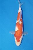 御三家錦鯉(來自福爾摩莎及台灣錦鯉網的超級錦鯉相片):b-27.jpg