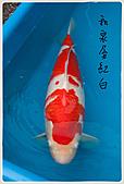 御三家錦鯉(來自福爾摩莎及台灣錦鯉網的超級錦鯉相片):11040119491bcc3bd4ca57a015.jpg