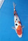 御三家錦鯉(來自福爾摩莎及台灣錦鯉網的超級錦鯉相片):b-31.jpg