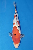 御三家錦鯉(來自福爾摩莎及台灣錦鯉網的超級錦鯉相片):b-32.jpg