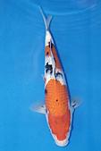 御三家錦鯉(來自福爾摩莎及台灣錦鯉網的超級錦鯉相片):b-33.jpg