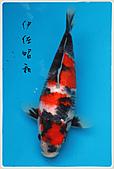 御三家錦鯉(來自福爾摩莎及台灣錦鯉網的超級錦鯉相片):11040710196d7e4f3fefaa0753.jpg