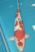 御三家錦鯉(來自福爾摩莎及台灣錦鯉網的超級錦鯉相片):b-85.jpg