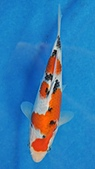 御三家錦鯉(來自福爾摩莎及台灣錦鯉網的超級錦鯉相片):100904181654f3ed9c39438052.jpg