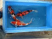 御三家錦鯉(來自福爾摩莎及台灣錦鯉網的超級錦鯉相片):DSC008581-.JPG