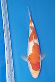 御三家錦鯉(來自福爾摩莎及台灣錦鯉網的超級錦鯉相片):b-88.jpg