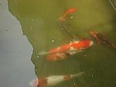 御三家錦鯉(來自福爾摩莎及台灣錦鯉網的超級錦鯉相片):183078285_l.jpg