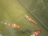 御三家錦鯉(來自福爾摩莎及台灣錦鯉網的超級錦鯉相片):183078350_l.jpg