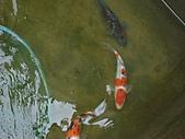 御三家錦鯉(來自福爾摩莎及台灣錦鯉網的超級錦鯉相片):183078369_l.jpg