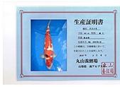 御三家錦鯉(來自福爾摩莎及台灣錦鯉網的超級錦鯉相片):cert-2.jpg