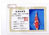 御三家錦鯉(來自福爾摩莎及台灣錦鯉網的超級錦鯉相片):cert-3.jpg