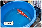 御三家錦鯉(來自福爾摩莎及台灣錦鯉網的超級錦鯉相片):11042016499108bc547dca7038.jpg